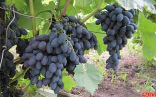 Виноград на даче. Неприхотливые сорта для начинающих