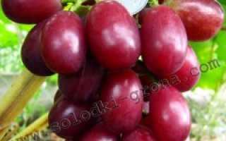 Виноград Санни Дольче (Sunny Dolce) – описание и фото сорта