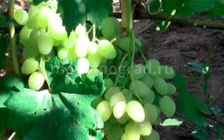 Виноград кишмиш Зорница (Болгария) – описание и фото сорта