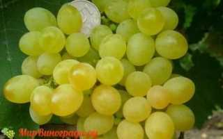 Виноград Jack's Salute (кишмиш Джек Салют) – фото и описание сорта
