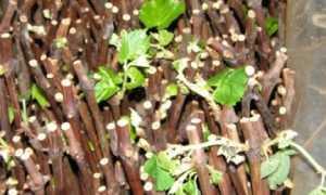 Кильчеваторы и кильчевание черенков винограда
