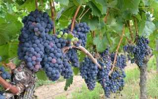 Виноград Мирный – описание и фото сорта (Среднеазиатская ОС ВИРа)