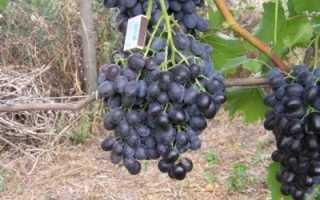 Виноград Кубань – описание, характеристики и фото сорта