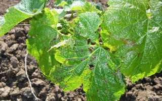 Черная пятнистость (фомопсис) винограда: фото, описание и борьба с болезнью