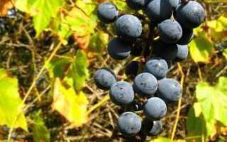 Виноград Советский столовый – описание и фото сорта