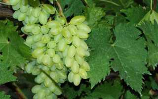 Виноград Кишмиш Столетие (Сентеньел сидлис) – описание и фото сорта