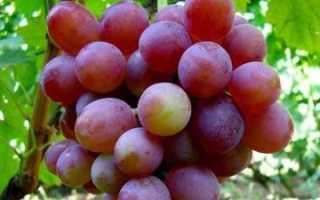 Виноград Блестящий – описание и фото сорта