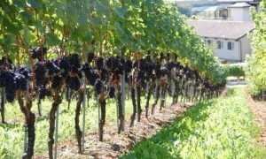 Шпалера для винограда и продуктивность виноградника