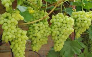 Мускатные сорта винограда на весь сезон