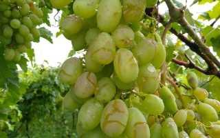 Почему трескается (лопается) виноград. Недостаток кальция