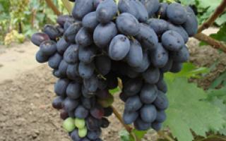 Виноград Николь (Бурдака А.В.) – фото, видео, описание сорта
