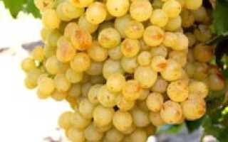 Виноград Кишмиш Белое Пламя (Вайт Флейм) – описание и фото сорта