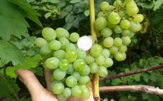 Виноград Гарольд – описание и фото сорта