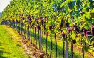 Виноград Красотка (Павловского Е.Г.) – фото, видео, описание сорта