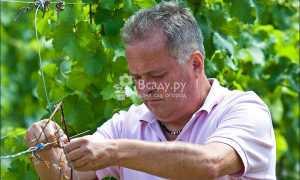 Уход за виноградом в июне-июле. Дневник виноградаря 2020