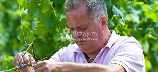 Работы на винограднике в июне-июле. Календарь виноградаря