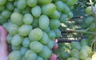 Виноград Подарок Запорожью – описание и фото сорта