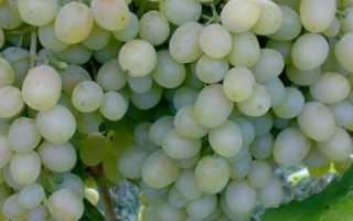 Виноград Алешенькин – описание и фото сорта