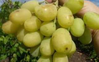Виноград Айсар – описание и фото сорта
