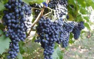 Виноград Мечта (кишмиш) – описание и фото сорта