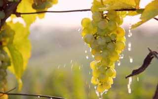 Полив винограда. Когда и как поливать виноград