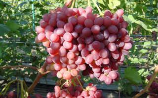 Виноград Сказка (Балабанова А.Ф.) – описание и фото сорта