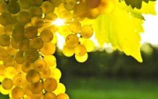 Бактериоз ягод винограда. Фото и профилактика болезни