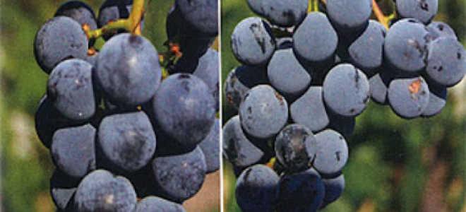 Препараты от черной пятнистости, оидиума и гнилей винограда