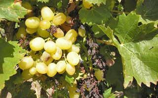 Паралич гребней винограда (усыхание гребня)