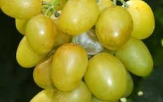 Виноград Мускат Диёвский (Голуба А.А.): фото, видео, описание сорта