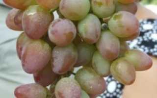 Виноград Наслаждение (Балабанова А.Ф.) – описание и фото сорта