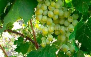 Виноград Антоний Великий (Крайнова В.Н.) – описание и фото сорта