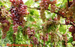 Виноград Голд Кишмиш – описание и фото сорта