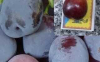 Виноград Блэк Глоуб (Black Globe) – описание и фото сорта