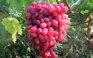 Виноград Sweet Jubilee (Сладкий Юбилей) – фото и описание сорта