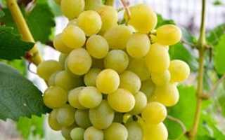 Виноград Адлер – описание и фото сорта
