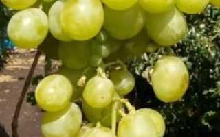 Виноград Талисман (Кеша-1) – описание и фото сорта