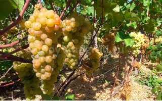 Виноград Платовский – фото, видео, описание сорта