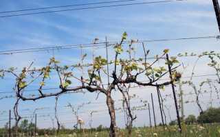 Виноград IFG29 – описание и фото сорта