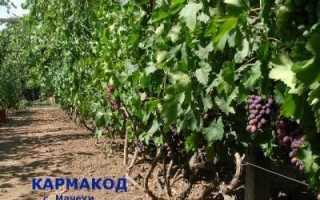 Виноград Кармакод – фото, видео, описание сорта
