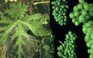 Недостаток магния на винограде. Причины и проявления.