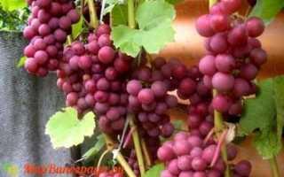 Виноград Лепсна – описание и фото сорта