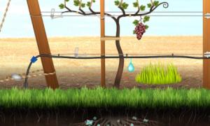 Шпалеры для ведения винограда со свисающим приростом