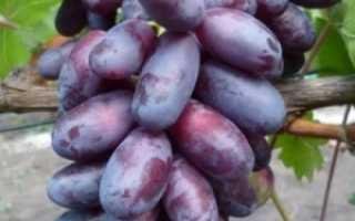 Сорт винограда Изюминка – описание, характеристики, фото