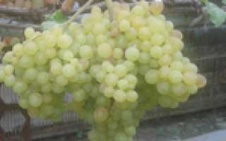 Виноград Барселона – описание и фото сорта