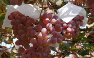 Японские сорта винограда на наших виноградниках
