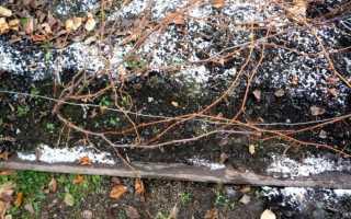 Укрытие винограда и зимовка виноградника