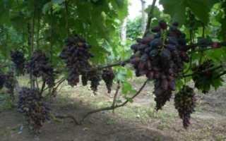 Виноград Атос (Бондарчук В.К.) – описание и фото сорта