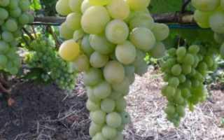 Виноград Румейка (Балабанова А.Ф.) – описание и фото сорта