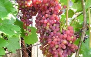 Виноград Кишмиш Лучистый – описание сорта, фото, отзывы